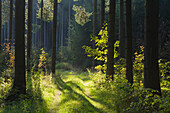 Forest track, near Sachsenried, Allgaeu, Bavaria, Germany