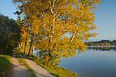 Lakeshore with yellow coloured birch trees, autumn, Schmuttersee, lakeside lane, near Fuessen, Allgaeu, Upper Bavaria, Bavaria, Germany