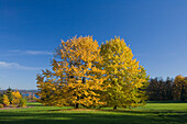Two trees with Autumn foliage in Park Bernried at lake Starnberg, Bernried, Upper Bavaria, Bavaria, Germany