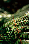Close up of a fern, South Island, New Zealand