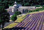 Lavender, Abbey Senanque Vaucluse, Provence, France