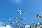 Mew gull gliding over dune, Germany