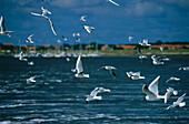 Flying Black-headed gulls, East Friesland, Lower Saxony, Germany