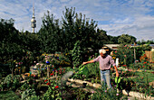 Man watering plants, allotment, Olympic Tower, Munich, Bavaria, Germany