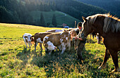 Farmer with horses and cattle, Chiemgau, Upper Bavaria, Bavaria, Germany