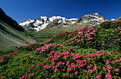 Bernina range with alpine roses, Oberengadin, Grisons, Switzerland
