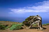 Juniper Tree, lat. Juniperus phoenicea, El Sabinal, the Island´s landmark, El Hierro, Canary Islands, Atlantic Ocean, Spain