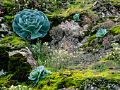 Rock with moss and Aeonium, endemic plant wiith rosette leaves, near Valsequillo, Gran Canaria, Spain