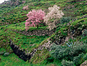 Almond trees, almond blossom, near Valsequillo, Gran Canaria, Canary Islands, Spain