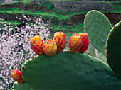 Prickly pear, opuntia with fruit, cactus figs, Valsequillo, Gran Canaria, Canary Islands, Spain