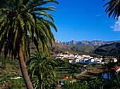 Palm tree, Fataga, Gran Canaria, Canary Islands, Spain