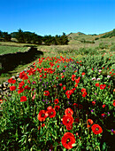 Poppy meadow, stone wall, extinct volcanoes in the background, El Hierro, Canary Islands, Spain