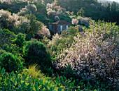 Blooming almond tree, La Palma, Canary Islands, Spain
