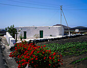 Typical country house with geranium flowers and field, Yaiza, Lanzarote, Canary Islands, Spain
