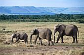 Elephant family, Game drive at Mara River, Masai Mara National Reserve, Kenya, Africa