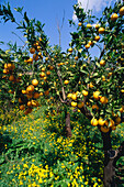 Orange trees in old gardens near Formalutx, Majorca, Baleares, Spain