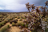 Blooming cactus, Safford, Arizona, USA