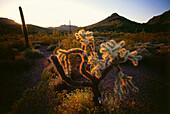 Cholla Caktus and Organ Pipe Cactus, Organ Pipe Cactus National Monument, Arizona, USA