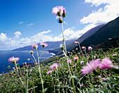 Flowers in front of Northern Coastline, El Hierro, Canary Islands