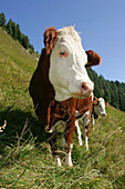 Alpine steep Meadow, Cow, Nationalpark Hohe Tauern, Salzburger Land, Austria