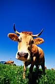 Cattle on meadow, Upper Bavaria, Bavaria, Germany