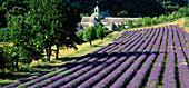 Lavendelfelder, Abbaye de Sénanque, Zisterzienser-Abtei, in der Nähe von Gordes, Vaucluse, Provence, Frankreich, Europa