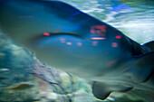 Haifisch im Aquarium des Buccaneer Restaurant in Aruba, ABC-Inseln, Niederländische Antillen, Karibik