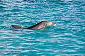 Delfin an der Curacao Dolphin Academy, Bapor Kibra, Curacao, ABC-Inseln, Niederländische Antillen, Karibik