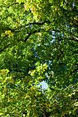 Deutschland, Thüringen, Weimar, Wald, Baum, Blatt, blauer Himmel, sonnig