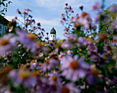 Blooming asters, bell tower in background, Frauenchiemsee Island, Lake Chiemsee, Upper Bavaria, Germany