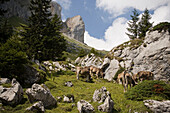 Cattle grazing at mountainside of mountain Pilatus (2132 m), Canton of Lucerne, Switzerland