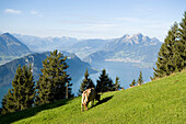 Cow grazing on pasture, panoramic view over Lake Lucerne, Mount Rigi (1797 m, Queen of the Mountains), Rigi Kaltbad, Canton of Schwyz, Switzerland