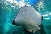 Oceans Aquarium, Stingray, Cape Town, South Africa