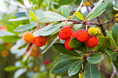 Fruit of the Strawberry Tree, Arbutus unedo L., Sardinia, Italy.