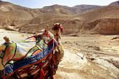 Camel in desert landscape, Mishor Adumim, near Dead Sea, Israel