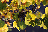 Close up of grapes, vines in a yineyard, Rural scene, Ticino, Switzerland