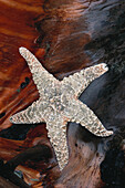 Close up of a starfish on driftwood, Long Beach, Pacific Rim, Vancouver Island, Canada, America