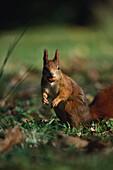 Close up of a red squirrel, Sciurus Vulgaris, nut in mouth, Animal