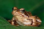 Close up of an agile frog sitting on a leaf, Rana Dalmatina, Bavaria, Germany