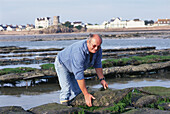 Mature adult, Man oyster fishing, Oyster Fisherman in the sea at Jersey, Channel Islands, Great Britain