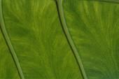 Detail von einem Blatt, Grün, Natur, Mauritius, Afrika