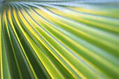 Nahaufnahme von einem Palmenblatt, Palme, Grün, Natur, Mauritius, Afrika