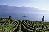 Vineyard near St. Saphorin, Lake Geneva, Canton of Vaud, Switzerland