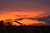 Wheat in a field at sunset, Cornfield in the evening light, Agriculture, Close up