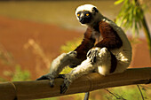 A Madagascan Lemur sitting on the branch of a tree, Madagascar, Africa