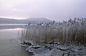 Schilf mit Eis am Seehamer See in Nebelstimmung, Oberbayern, Bayern, Deutschland