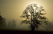 trees in foggy backlight, Upper Bavaria, Bavaria, Germany