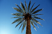 Date palm against blue sky, Marrakech, Marrakesh, Morocco