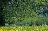 Deciduous tree on meadow with dandelion flowers, Fischbachau, Upper Bavaria, Bavaria, Germany