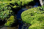 moss cushions with stream, Ötztal range, Tyrol, Austria
